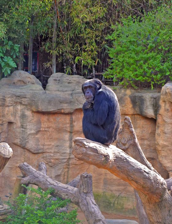 Napo, el macho reproductor de chimpancé, ya está con su grupo en el recinto exterior de BIOPARC Fuengirola