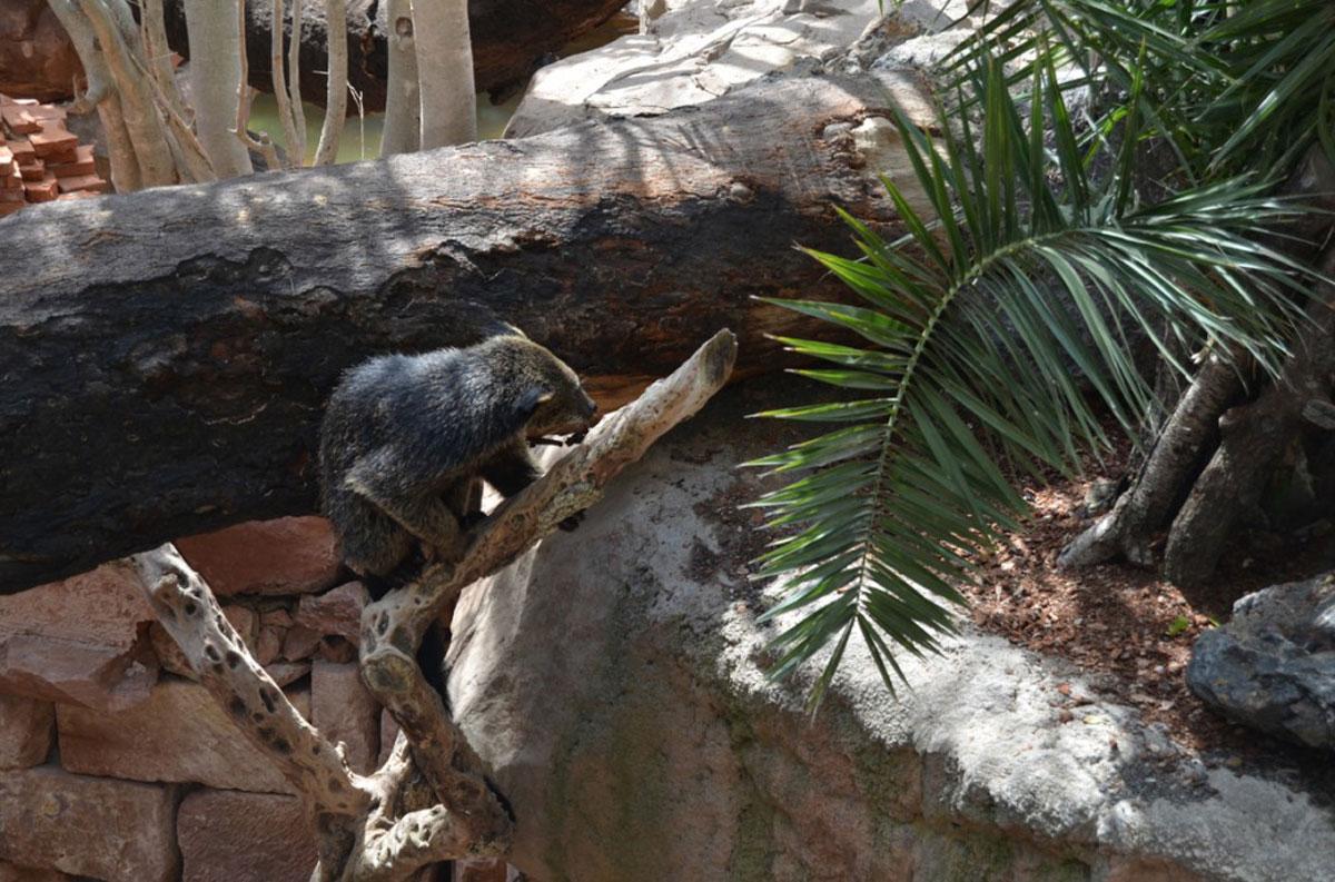 Nueva instalación de tapires y binturones