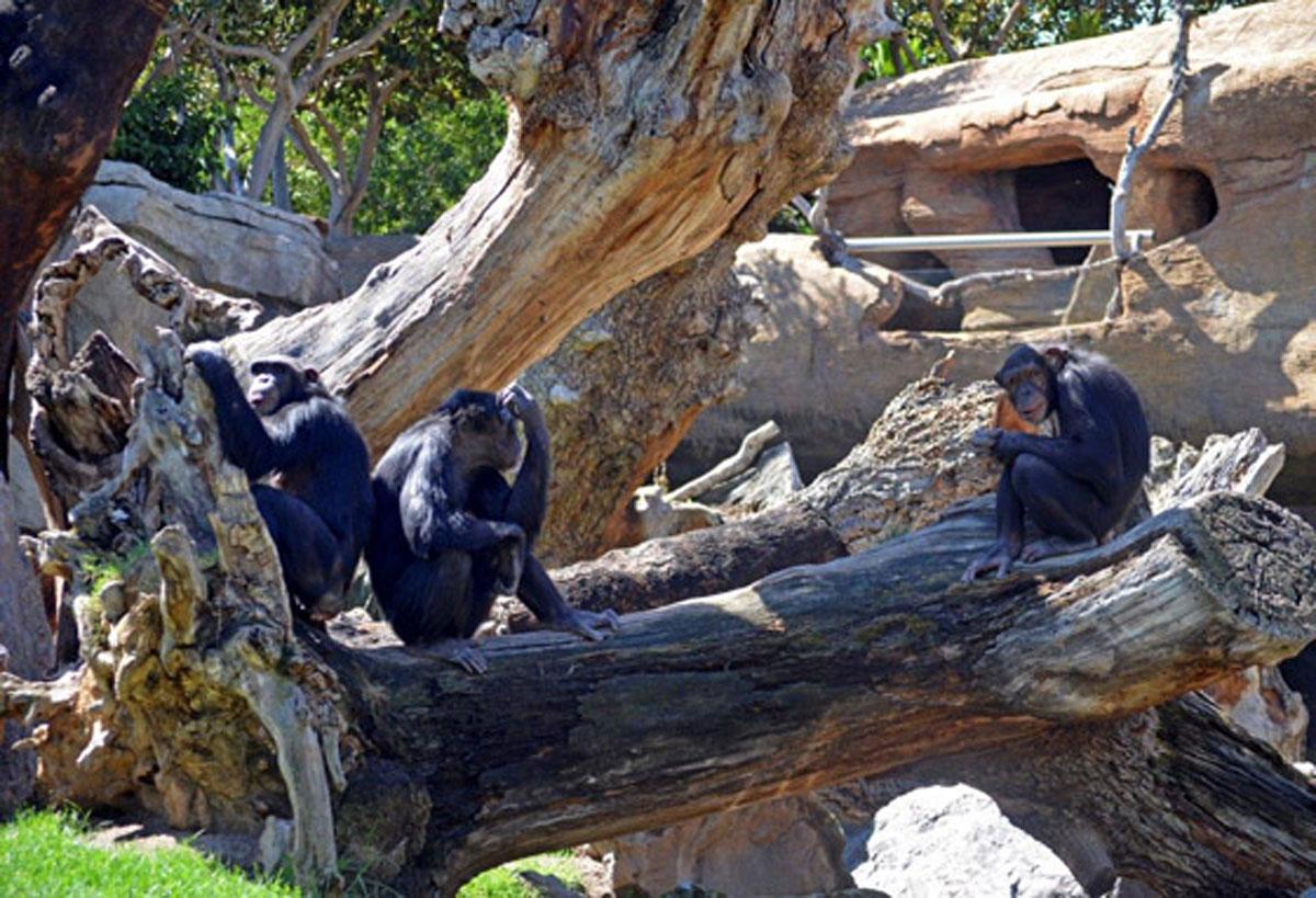 Las chimpancés Noelia, Eva y Natalia toman el sol en su nuevo hogar valenciano