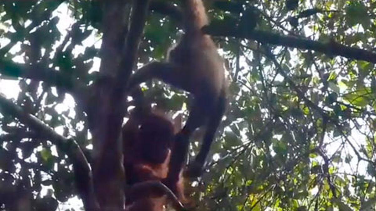Raras imágenes grabadas de un orangután y su poco probable amigo