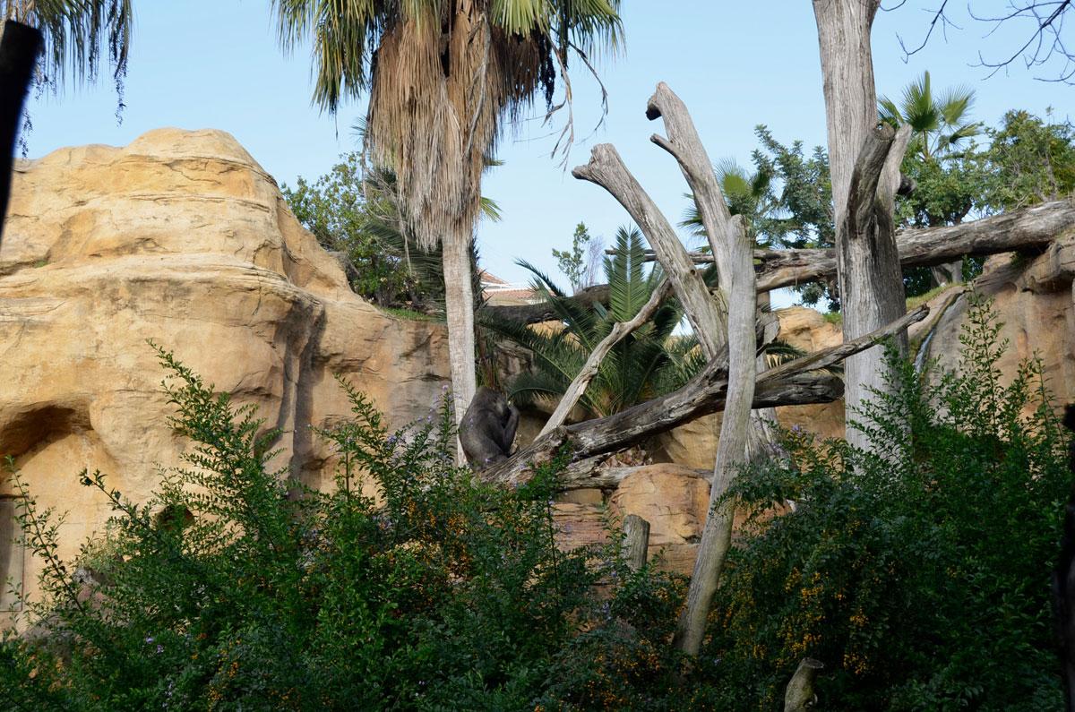 Situación, evolución y necesidad de conservar al gorila