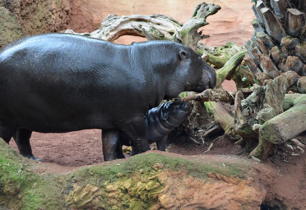 Nace carismática cría en Bioparc Fuengirola con aires de esperanza para su especie
