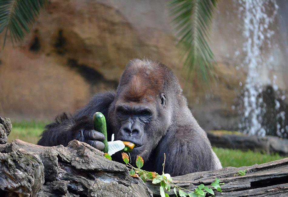 Quién dijo que los monos comen plátanos