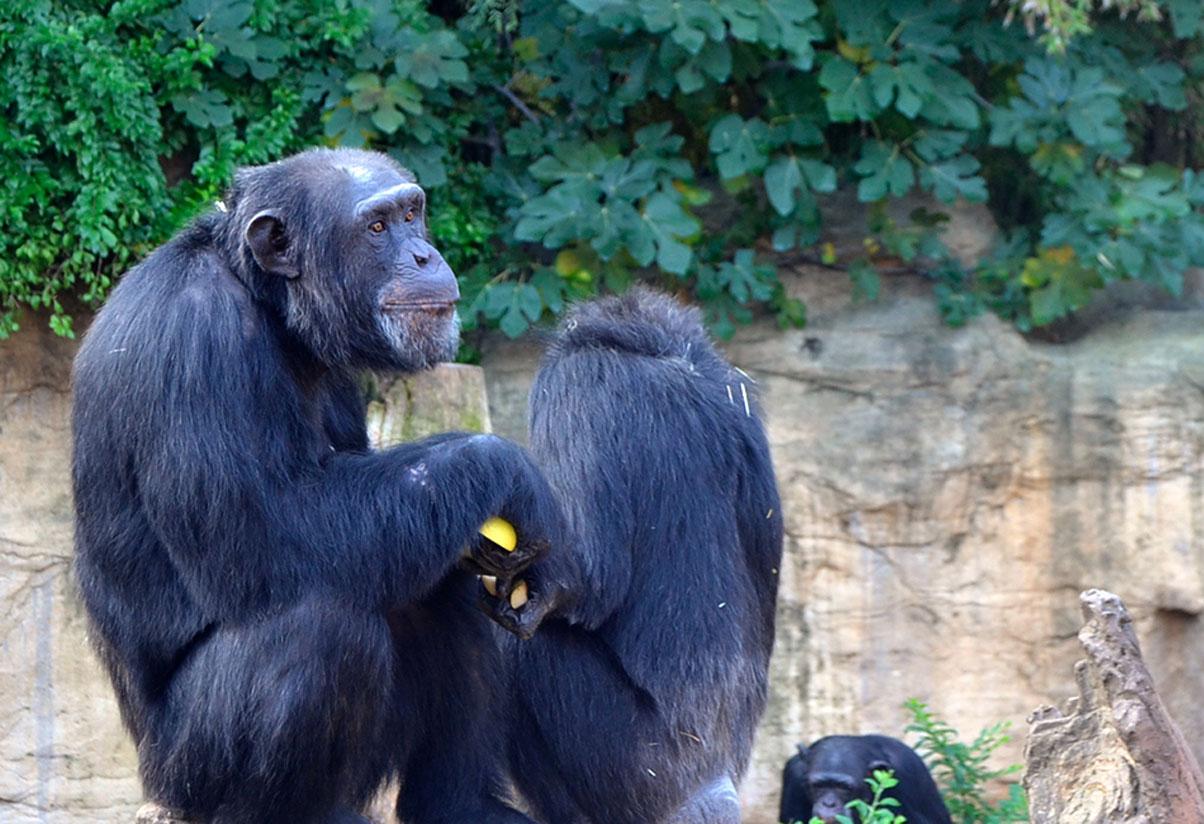 ¿Quién dijo que los monos comen plátanos?