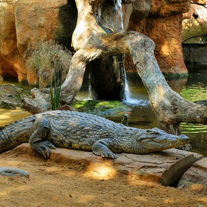 Resultado de imagen de cocodrilo