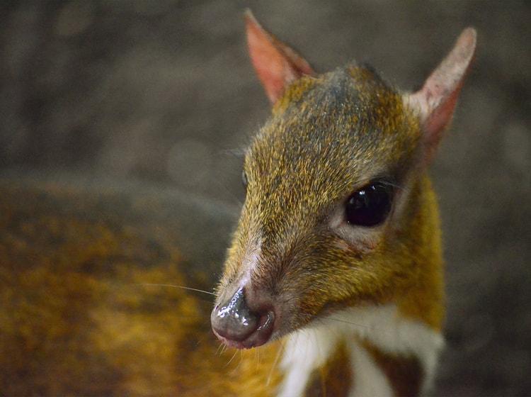 Ciervo ratón menor - BIOPARC Fuengirola