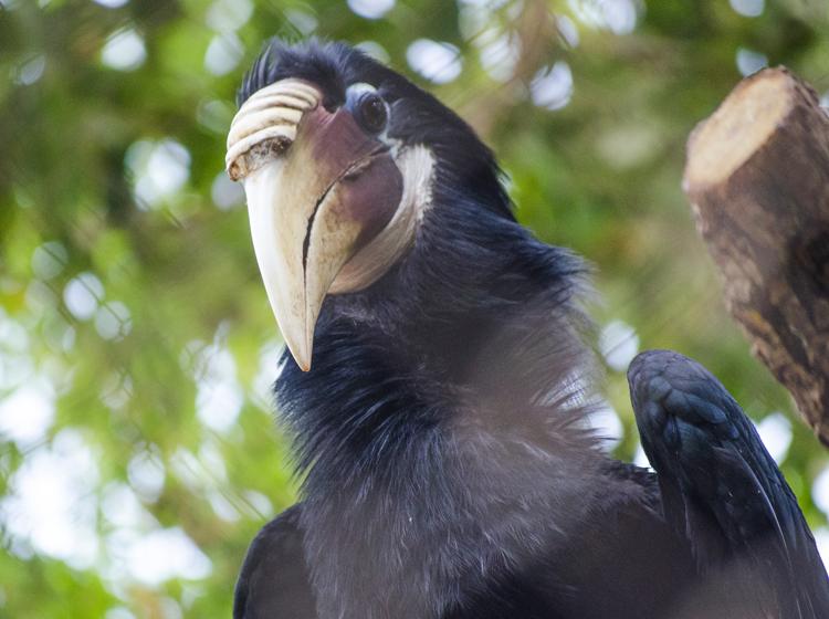 Cálao Papua